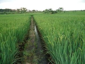 10 le riz en épiaison