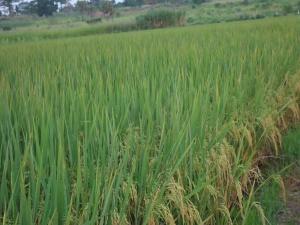 11 le riz en pleine maturation