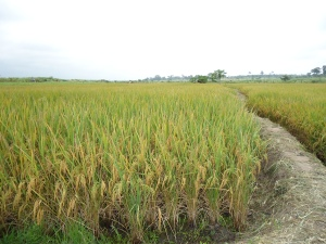 12 le riz est mur